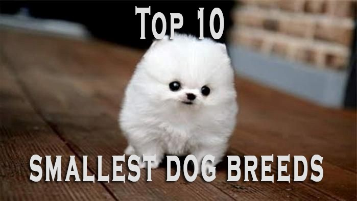 Get Yourself a New Dog and Go for Any of the Top 10 Smallest Dog Breeds Right to Brighten up Your Life